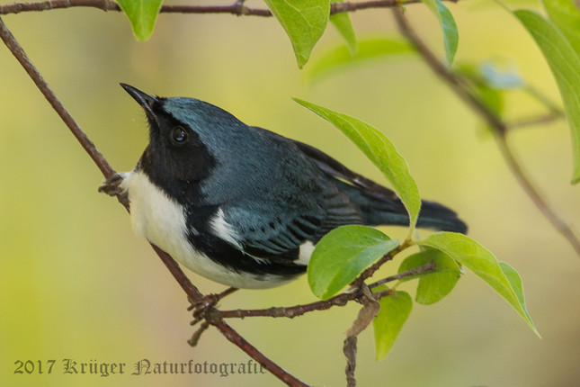 Black-throated Blue Warbler-5538