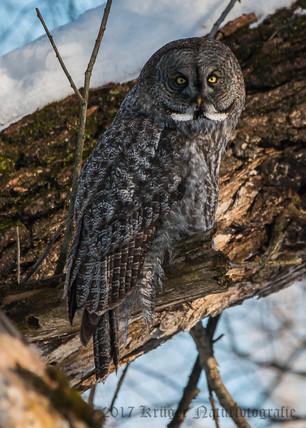 Great Gray Owl-1771