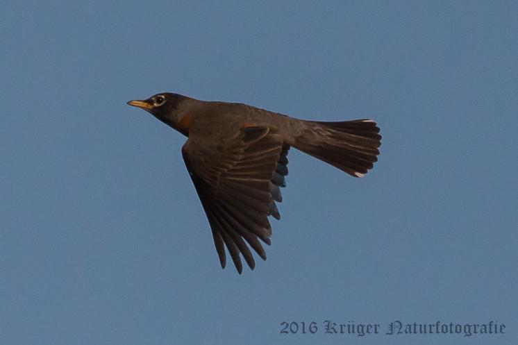 American Robin-6437
