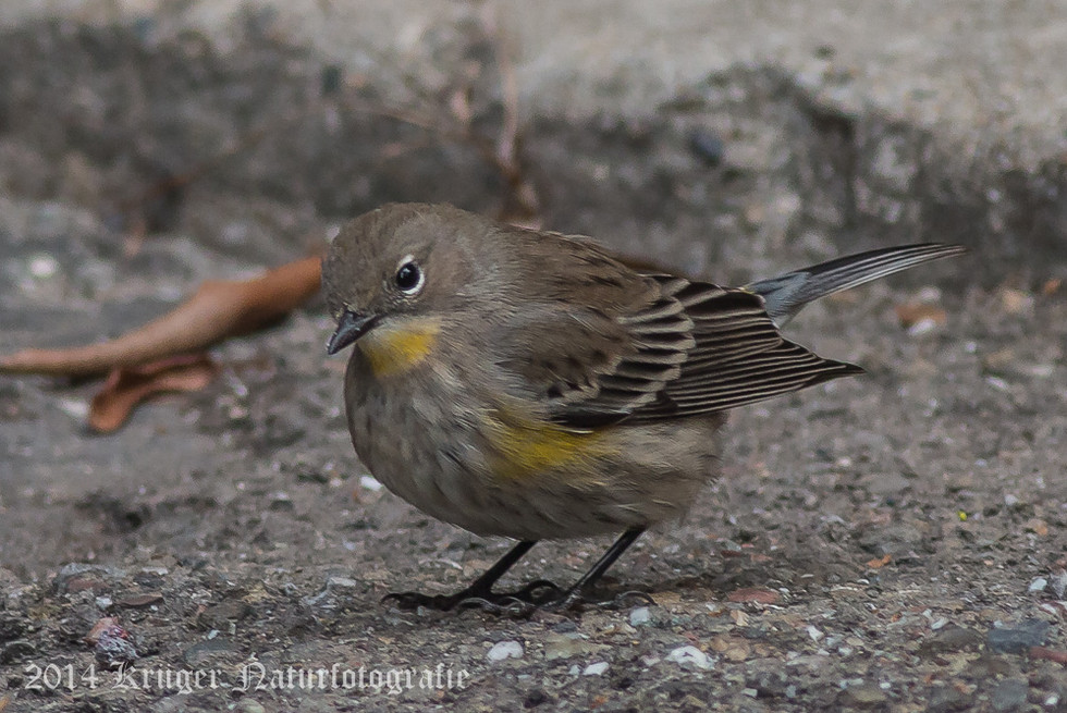 Audobon's Yellow-rumped Warbler-8528