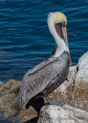 Brown Pelican-8682