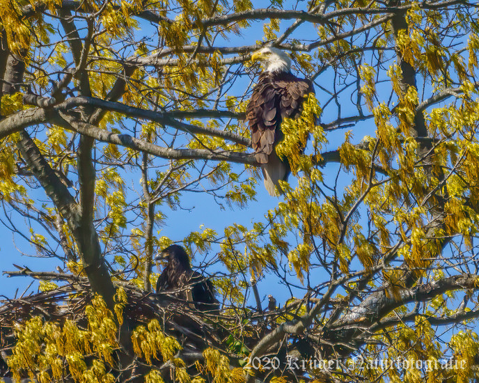 Bald Eagle-1235