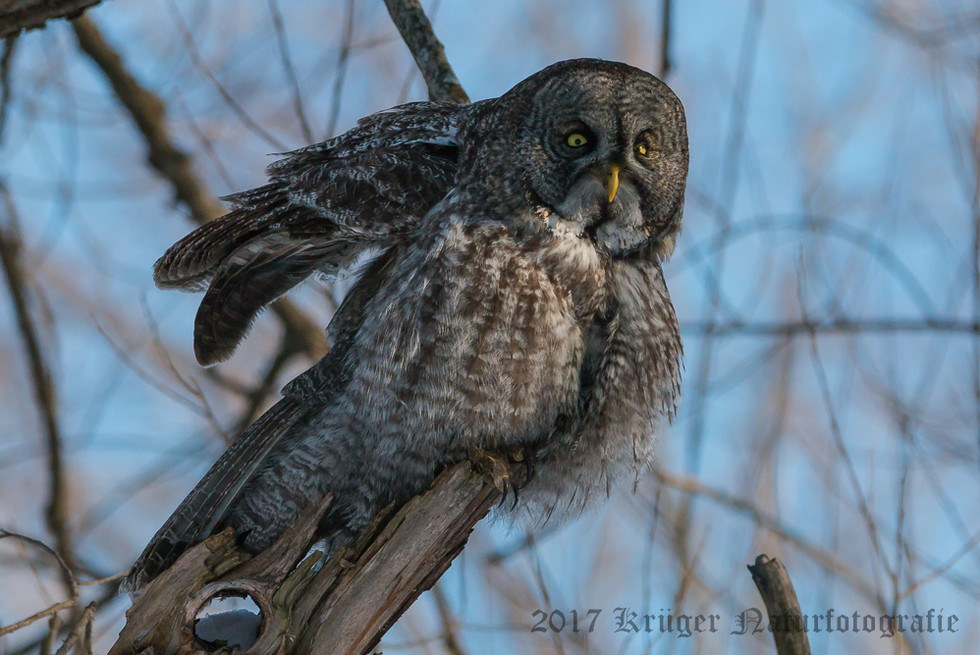 Great Gray Owl-1592