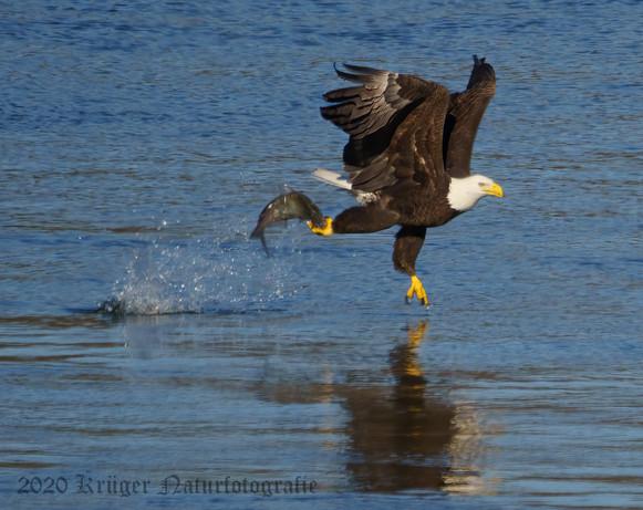 Bald Eagle-7400