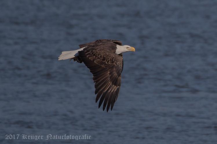 Bald Eagle-4455