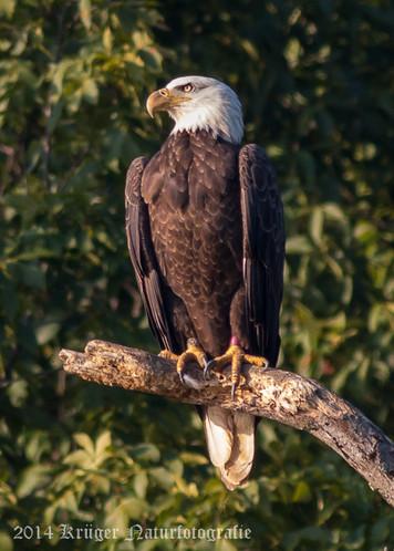 Bald Eagle-7943