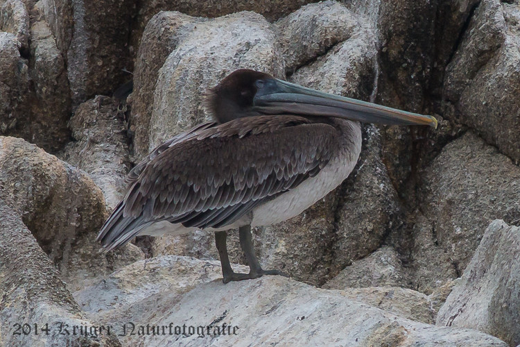 Brown Pelican-8122