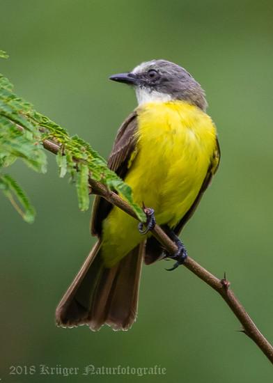 Gray-capped Flycatcher-4511