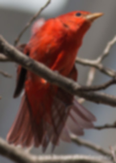 Summer Tanager-1284.jpg