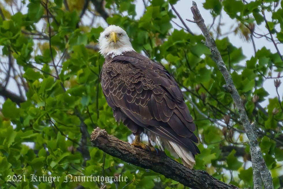 Bald Eagle-04857