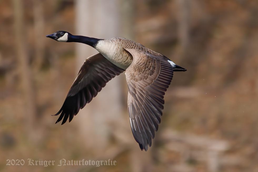 Canada Goose-5472