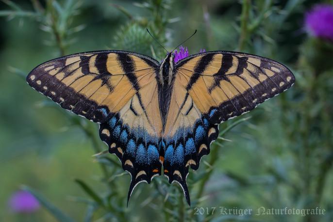 Eastern Tiger Swallowtail-8116