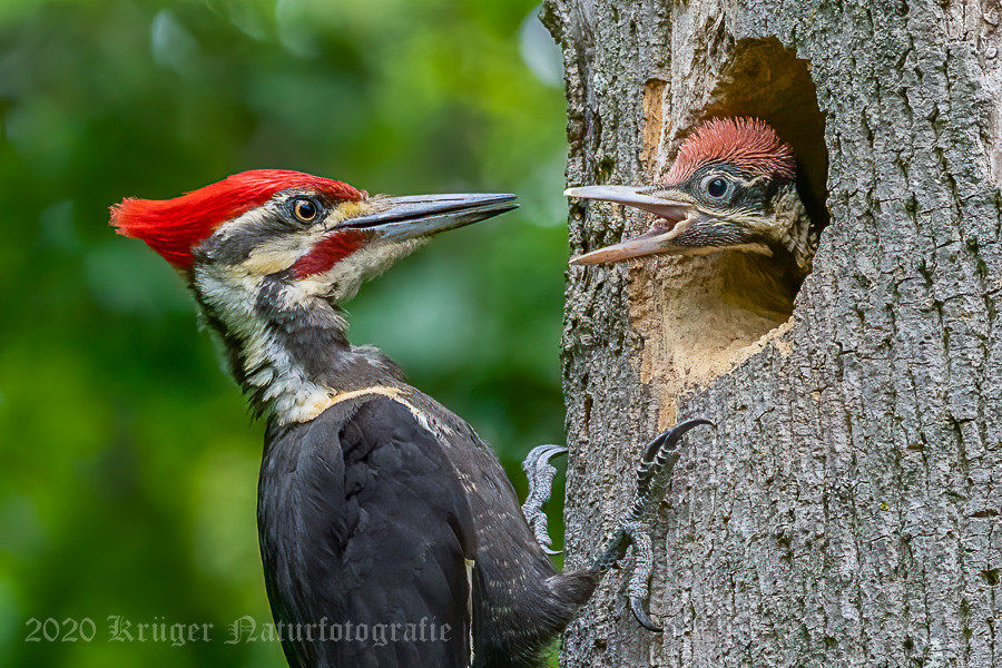 Pileated Woodpecker-3721