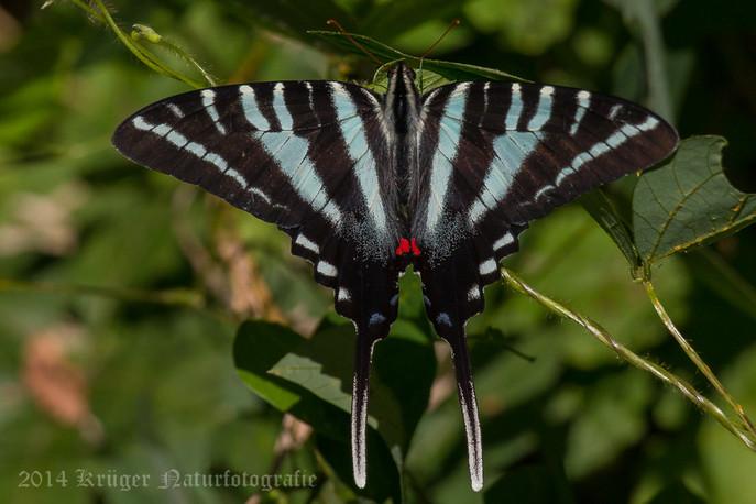 Zebra Swallowtail-6148