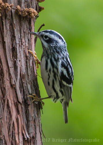 Black-and-white Warbler-5275