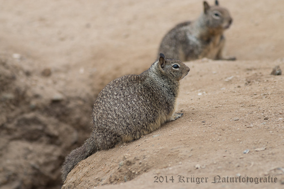 California Ground Squirrel-8201