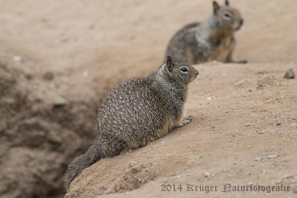 California Ground Squirrel-8201