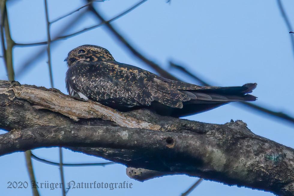 Common Nighthawk-3566