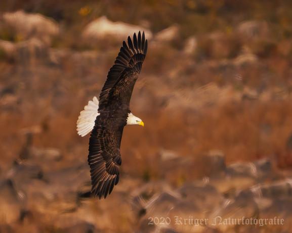 Bald Eagle-7396
