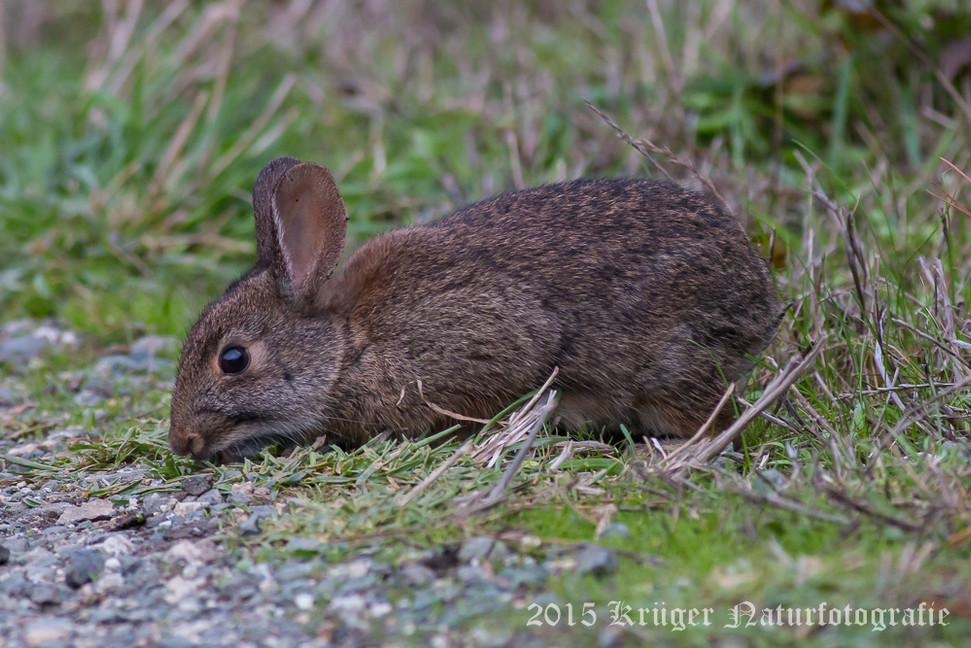 Brush Rabbit-2084