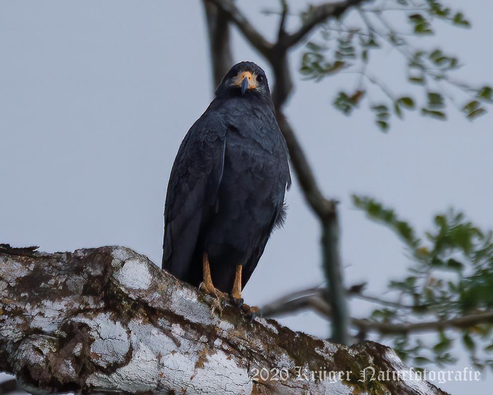 Common Black Hawk-2800