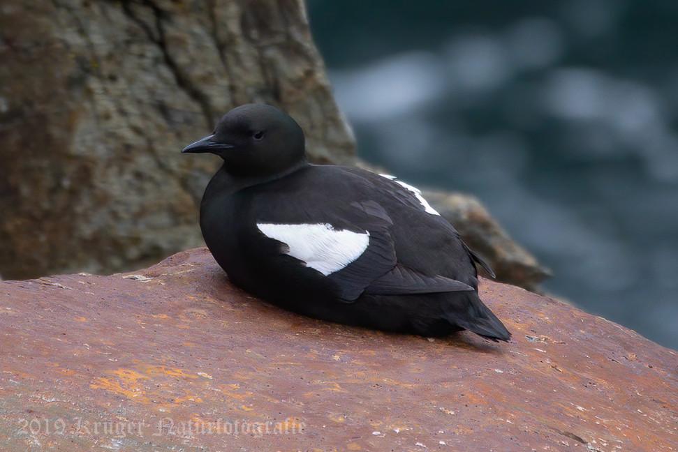 Black Guillemot-8333