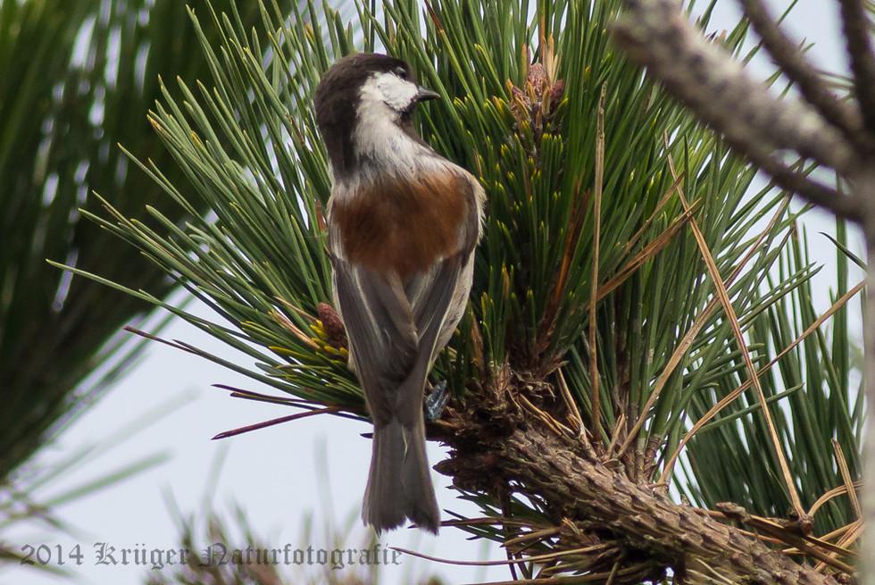 Chestnut-backed Chickadee-8515