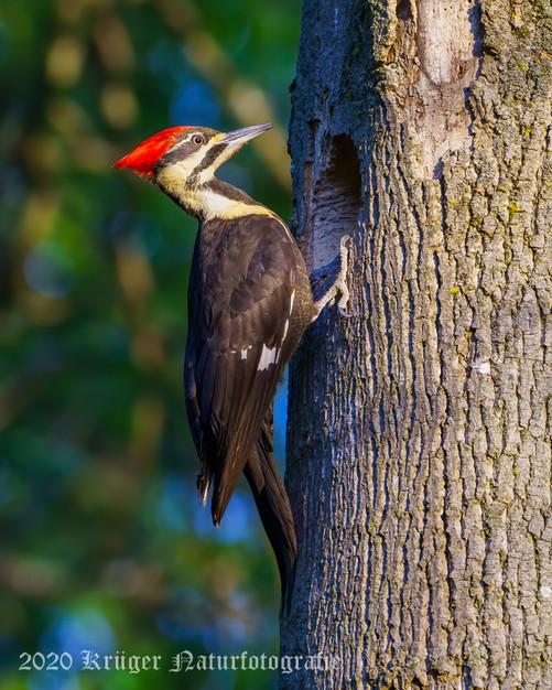Pileated Woodpecker-2982