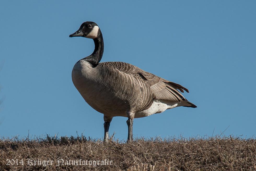 Canada Goose-0070