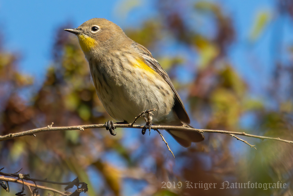 Audon's Yellow-rumped Warbler-2996