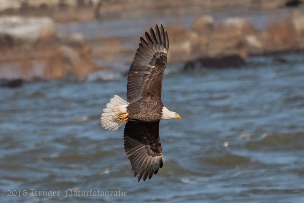 Bald Eagle-0706