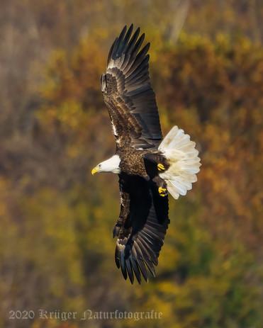 Bald Eagle-7358