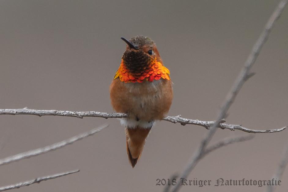 Allen's Hummingbird-6440