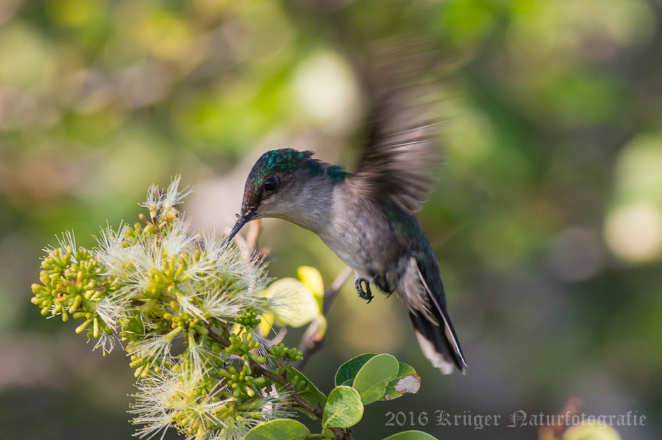 Antillean Crested Hummingbird-0489