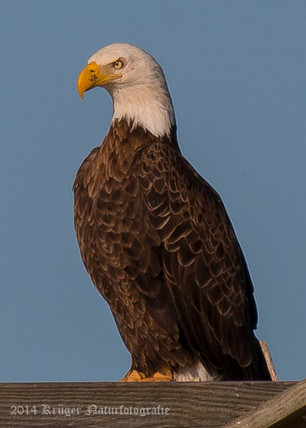 Bald Eagle-2291