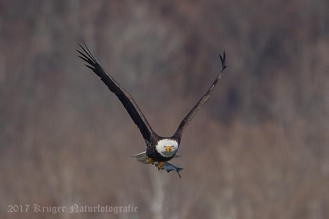 Bald Eagle-4619