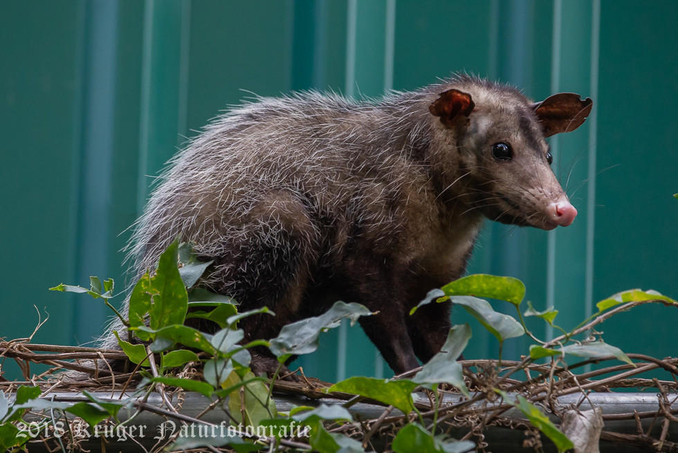 Common Opposum-6295