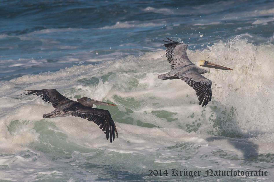 Brown Pelican-8609