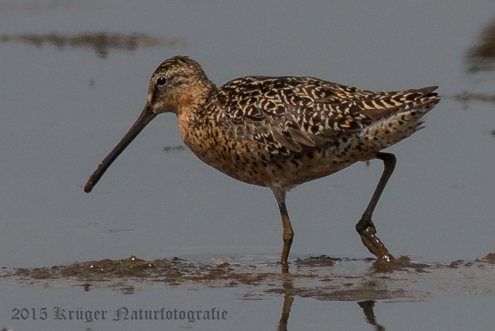 Long-billed Dowitcher-5593