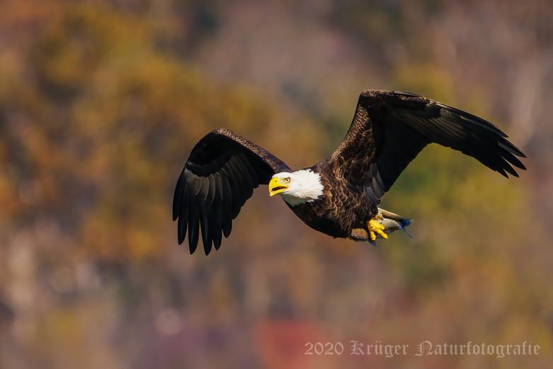Bald Eagle-7302