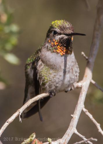 Anna's Hummingbird-3818
