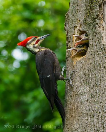 Pileated Woodpecker-3727