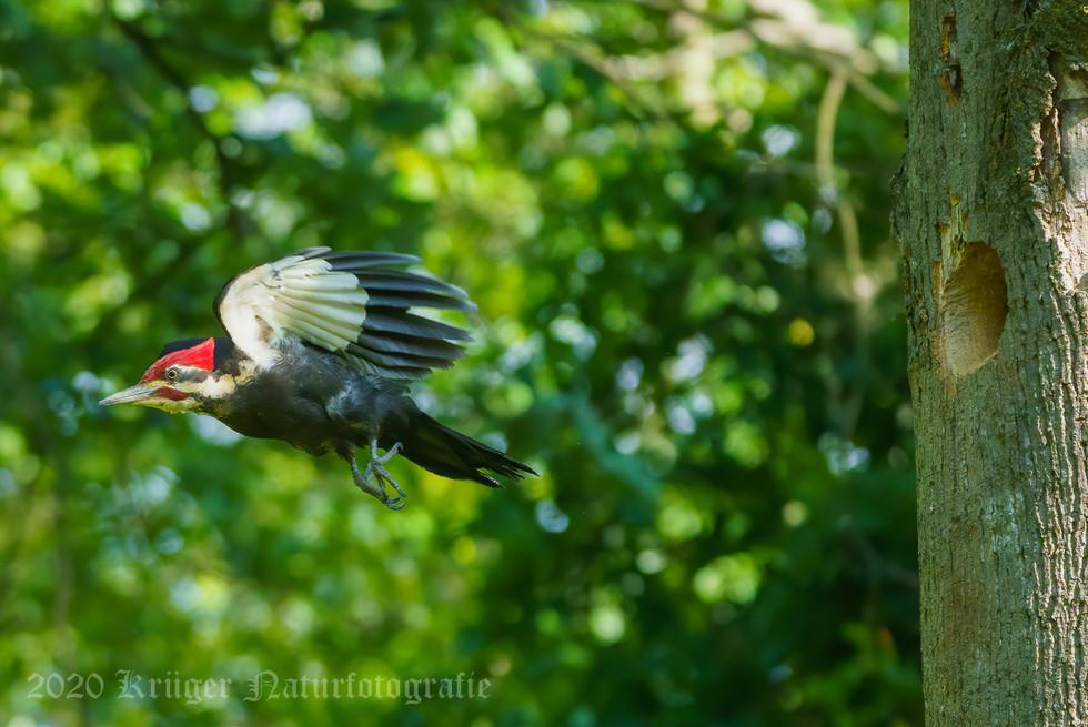 Pileated Woodpecker-3866