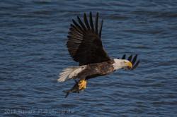 Series 2 - Bald Eagle-4234