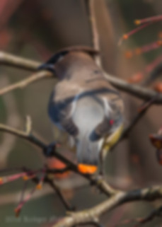Cedar Waxwing-1177.jpg