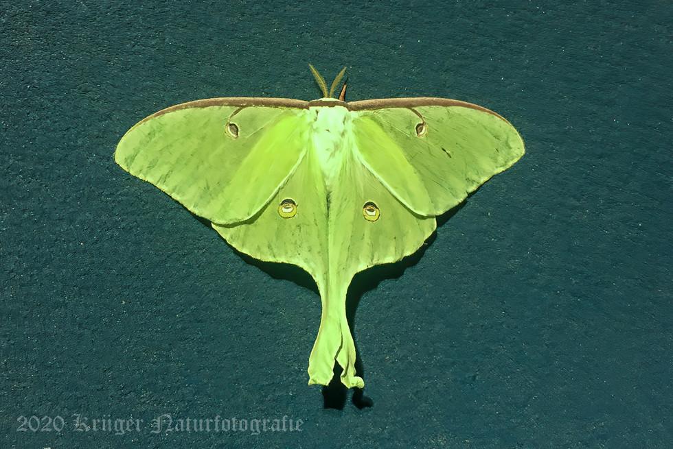 Luna Moth-1746