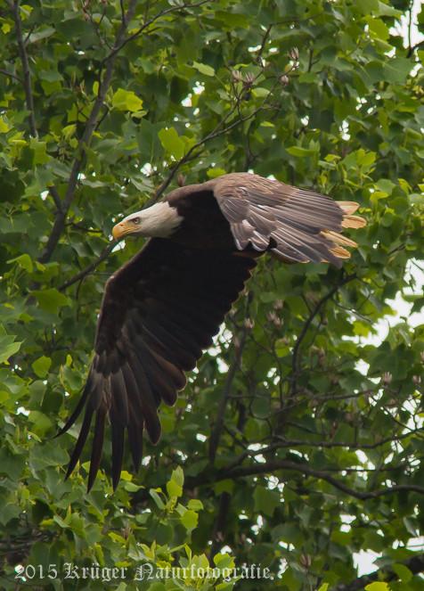 Bald Eagle-0539
