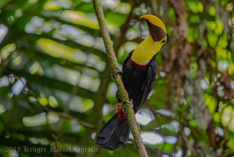 Yellow-throated Toucan-4830