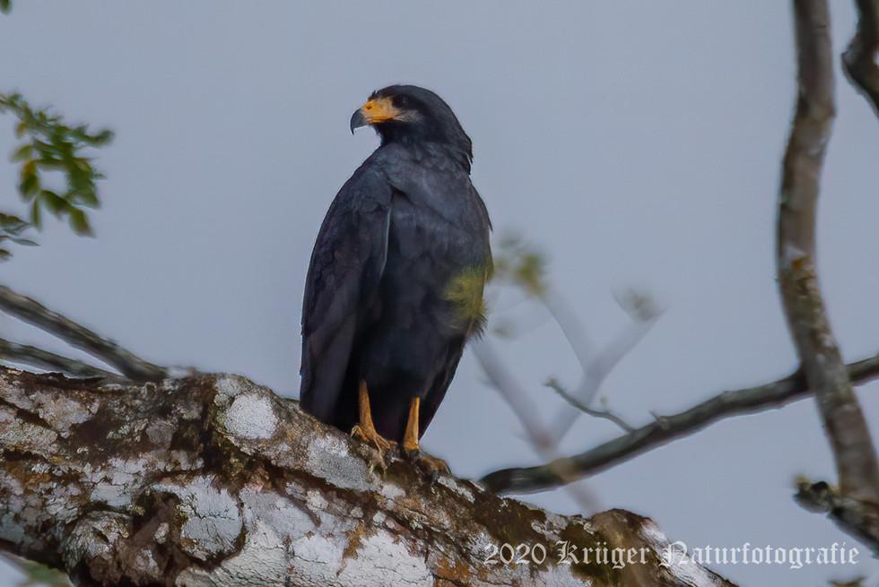 Common Black Hawk-2798