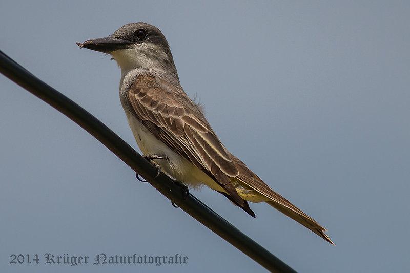 Gray Kingbird-3096.jpg